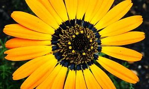 sunflower_halo