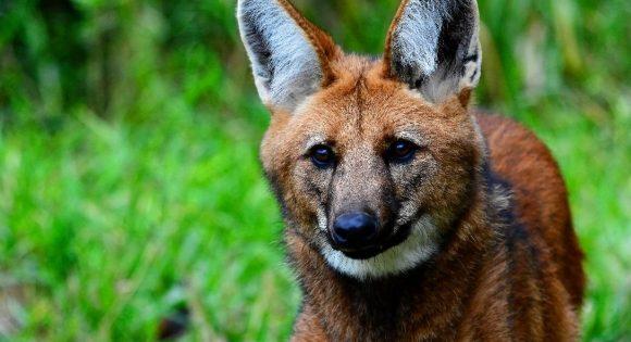 Figura 2. Lobo-guará (Chrysocyon brachyurus) no Parque Nacional da Serra da Canastra. Fonte: Ferrarezi Jr. / Flickr